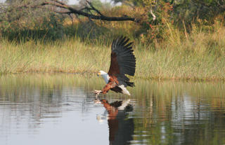 Fish Eagle on PomPom lagoon