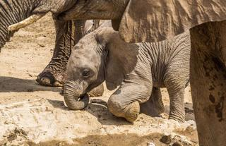 Elephant calf from Hobatere
