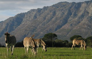Zebras from our Quagga breeding project