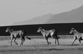 The Quagga's - part of the breeding project on Elandsberg Private Nature Reserve