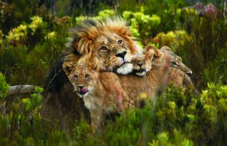 Male Lion with Cubs at Gondwana