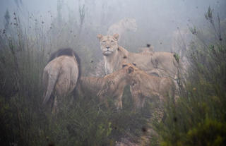 Lions Family in the mist