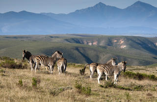 Zebra at Gondwana