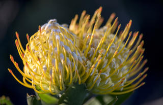 Fynbos - Pin Cushions