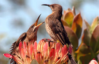 Fynbos Sunbird on Protea