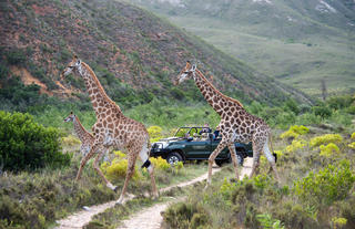 Giraffe being viewed on a Game Drive