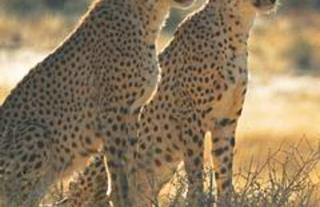 he Cheetah Conservation Fund (CCF) was founded in 1990.