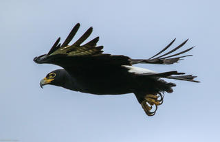 Resident Verreaux eagle