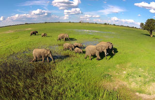 Elephant herd in the green season
