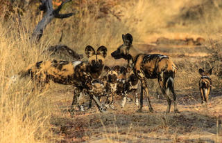 Wild dog near camp