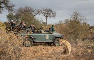 Lion on game drive