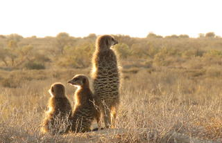 Five shy meerkat Tours