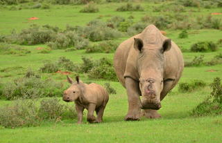 Poaching survivor Thandi and calf